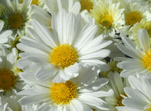 Gerbera daisy white yellow flower Royalty Free Stock Photos