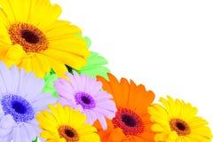 Gerbera daisy yellow Royalty Free Stock Photo