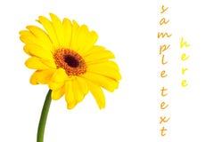 Gerbera daisy yellow Royalty Free Stock Photography