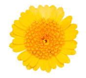 Gerbera Daisy yellow flower isolated on white. Gerbera Daisy yellow flower isolated on white background. Object with clipping path Stock Image