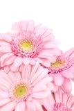 gerbera de bouquet Photographie stock libre de droits