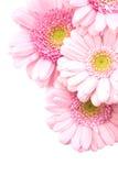 gerbera de bouquet Images libres de droits