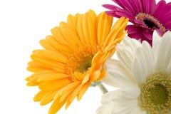 gerbera de bouquet Photos libres de droits