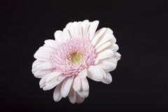 Gerbera de fleur Image stock