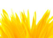 Gerbera de fleur. Photos stock