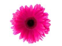 Gerbera de fleur. Photographie stock libre de droits