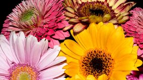 Gerbera de fleurs Image stock