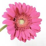Gerbera de la flor Imagenes de archivo