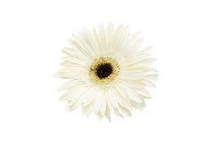 Gerbera de la flor blanca Imagen de archivo