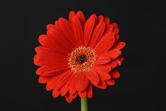 Gerbera de las flores Imagenes de archivo