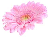 Gerbera de Roze Imagen de archivo libre de regalías