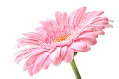 Gerbera de Roze Fotografía de archivo libre de regalías