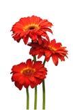 Gerbera de três vermelhos Imagem de Stock Royalty Free