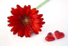 Gerbera del biglietto di S. Valentino del san Fotografie Stock