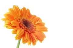 Gerbera del fiore Immagine Stock Libera da Diritti