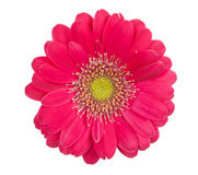 Gerbera dentellare Immagine Stock