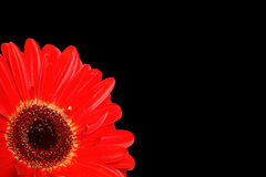 Gerbera detail on black. Detail of a vivid red gerbera isolated on a black background with copy space Stock Photography