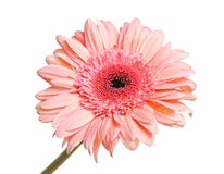 Gerbera with dew isolated Royalty Free Stock Image