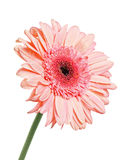 Gerbera with dew isolated. On white background royalty free stock photos