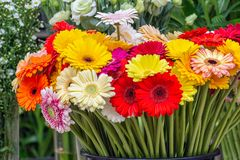 Gerbera of different colors for sale at Dutch flower store Stock Photography