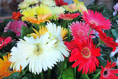 Gerbera differente Immagine Stock