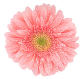 Gerbera with drops. Pink gerbera with a yellow center and a dew drops Stock Photos