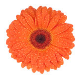 Gerbera with drops. Orange gerbera with a dew drops Royalty Free Stock Images