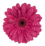 Gerbera with drops. Lilac-coloured gerbera with a dew drops Stock Image