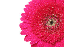 Gerbera with drops isolated on white background Royalty Free Stock Photography