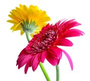 Gerbera-duo Royalty Free Stock Images