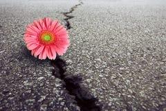 Gerbera en el asfalto Imagenes de archivo