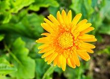 Gerbera en el chiangmai real Tailandia de la flora Foto de archivo