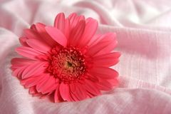 Gerbera on fabric. Pink gerbera on pink fabric stock images