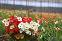 Gerbera farm inside greenhouse Royalty Free Stock Photography