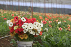 Gerbera farm inside greenhouse Stock Image