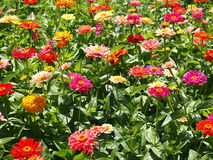 Gerbera. Field of red pink yellow gerberas Stock Image