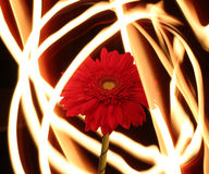 Gerbera on fire, flower of fire lines. Flower on a background of fire lines Royalty Free Stock Photo