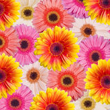 Gerbera floral background Royalty Free Stock Image