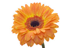 Gerbera flower. Isolated on white Royalty Free Stock Photos