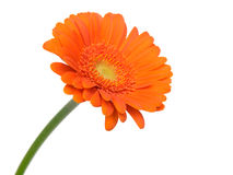 Gerbera flower. Orange gerbera flower isolated on white background.  Very suitable for (e)cards Royalty Free Stock Photo