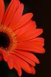 Gerbera flower. Closeup of a Gerbera flower Royalty Free Stock Images