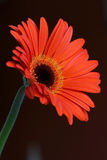 Gerbera flower. Closeup of a red Gerbere flower Royalty Free Stock Photos