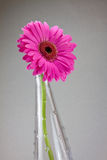 Gerbera flower Royalty Free Stock Photos