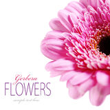 Gerbera flower Royalty Free Stock Images