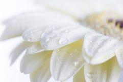 Free Gerbera Flower Royalty Free Stock Image - 23902196