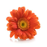 Gerbera Flower Royalty Free Stock Image
