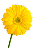 Gerbera flower. Yellow Gerbera flower closeup isolated front view Stock Images