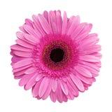 Gerbera flower Royalty Free Stock Photo