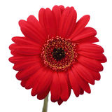 Gerbera flower. Royalty Free Stock Photography