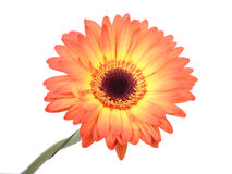 Gerbera flower. Stock Image